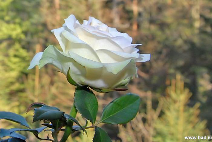 roze-hisa-02.jpg