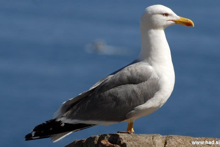 galeb-fotografije-laridae-seagull-photos-01.jpg