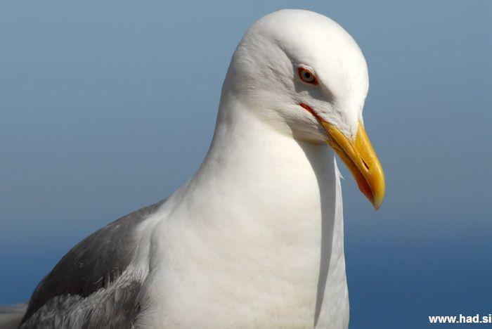 galeb-fotografije-laridae-seagull-photos-03.jpg