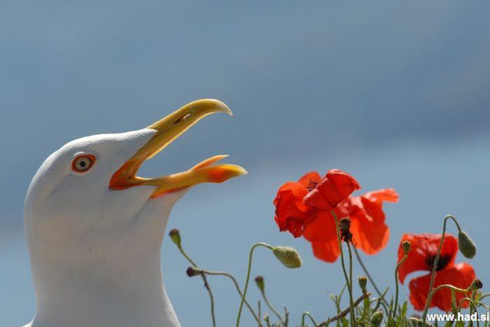 galeb-fotografije-laridae-seagull-photos-05.jpg