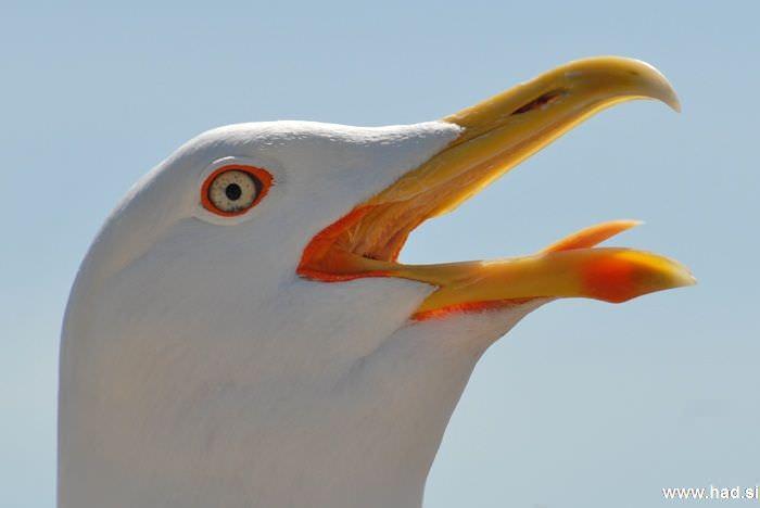galeb-fotografije-laridae-seagull-photos-06.jpg