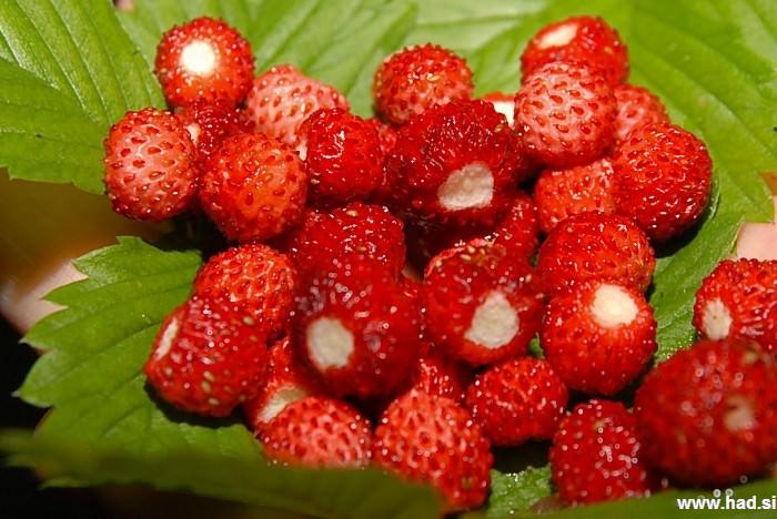 gozdne-jagode-07.jpg