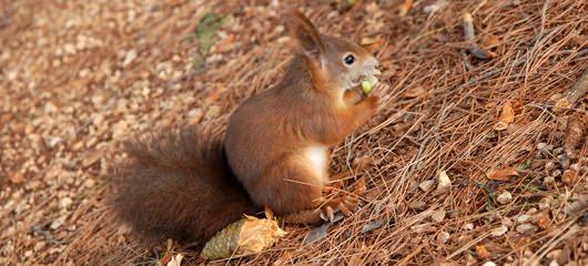 veverica-fotografije-sciurus-vulgaris-squirrel-photos-08.jpg