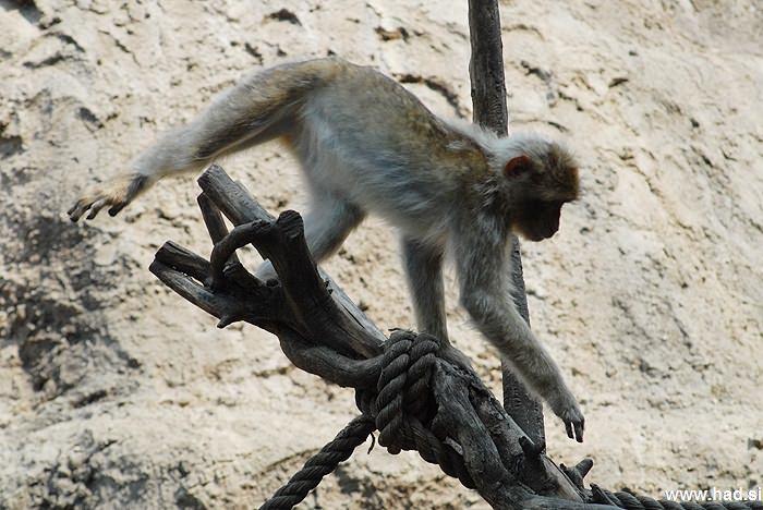 opicke-majhne-opice-fotografije-04