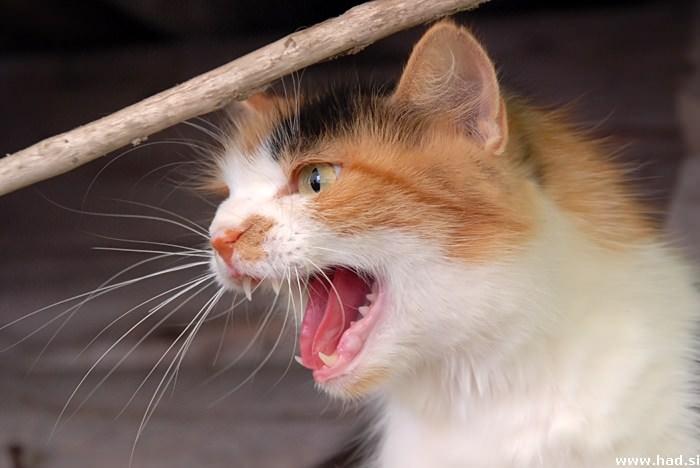 Mačka - Felis Silvestris Catus 2