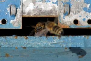 Če čebela ne bi če imela, bi čebela bila bela 2