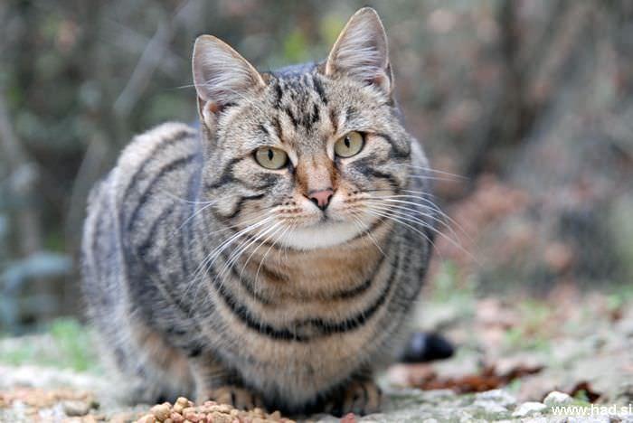 Mačka Felis Silvestris Catus