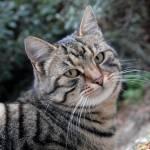 muca-felis-silvestris-catus-03.jpg