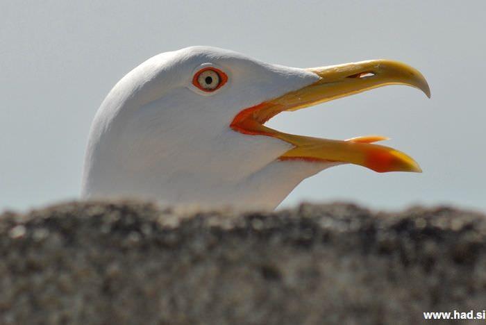 Galeb - Laridae fotografije