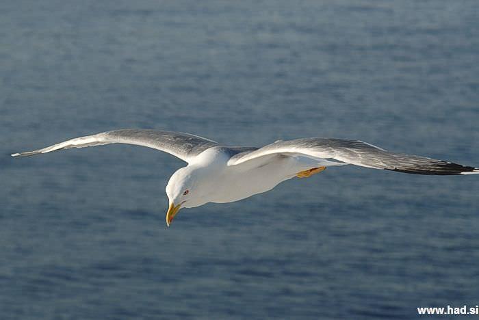 galeb-fotografije-seagull-photos-02.jpg