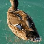pernate zivali fotografije 08 150x150 Pernate živali, zjutraj, na obali jezera