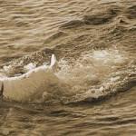 Morski pes 8