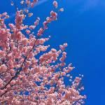 cesnje_cvetijo_002
