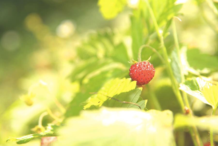 Gozdne jagode