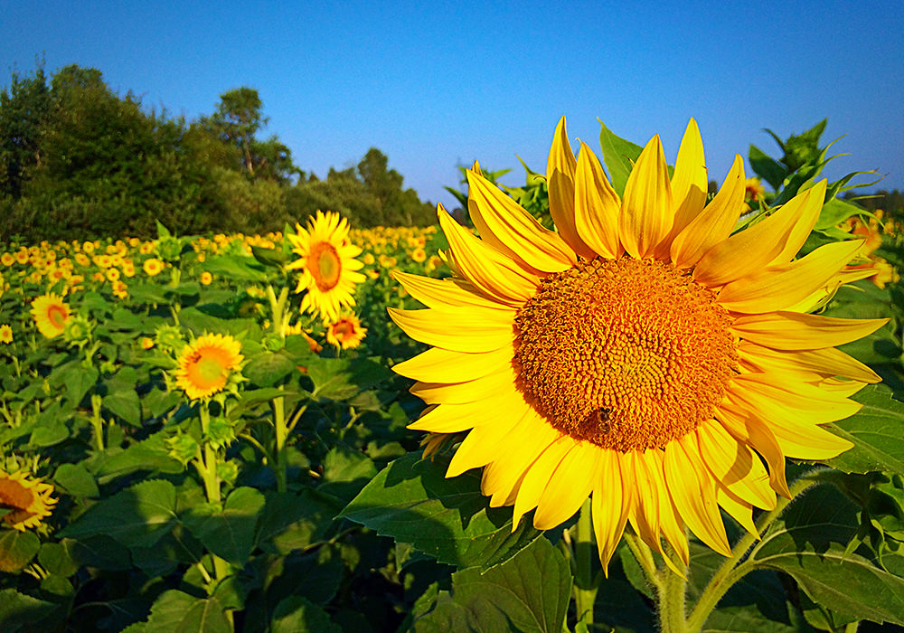 Polje sončnic / fotografije