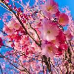 Prunus serrulata Kanzan5