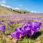 Krokus pomladanski zafran na Veliki planini 7
