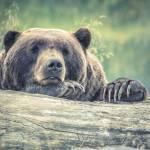 Medved napadel 80 letnico nad Zelimljami in jo lazje poskodoval