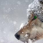 Medvede in volkove bodo 22odvzeli22 iz narave v bistvu jih bodo postrelili