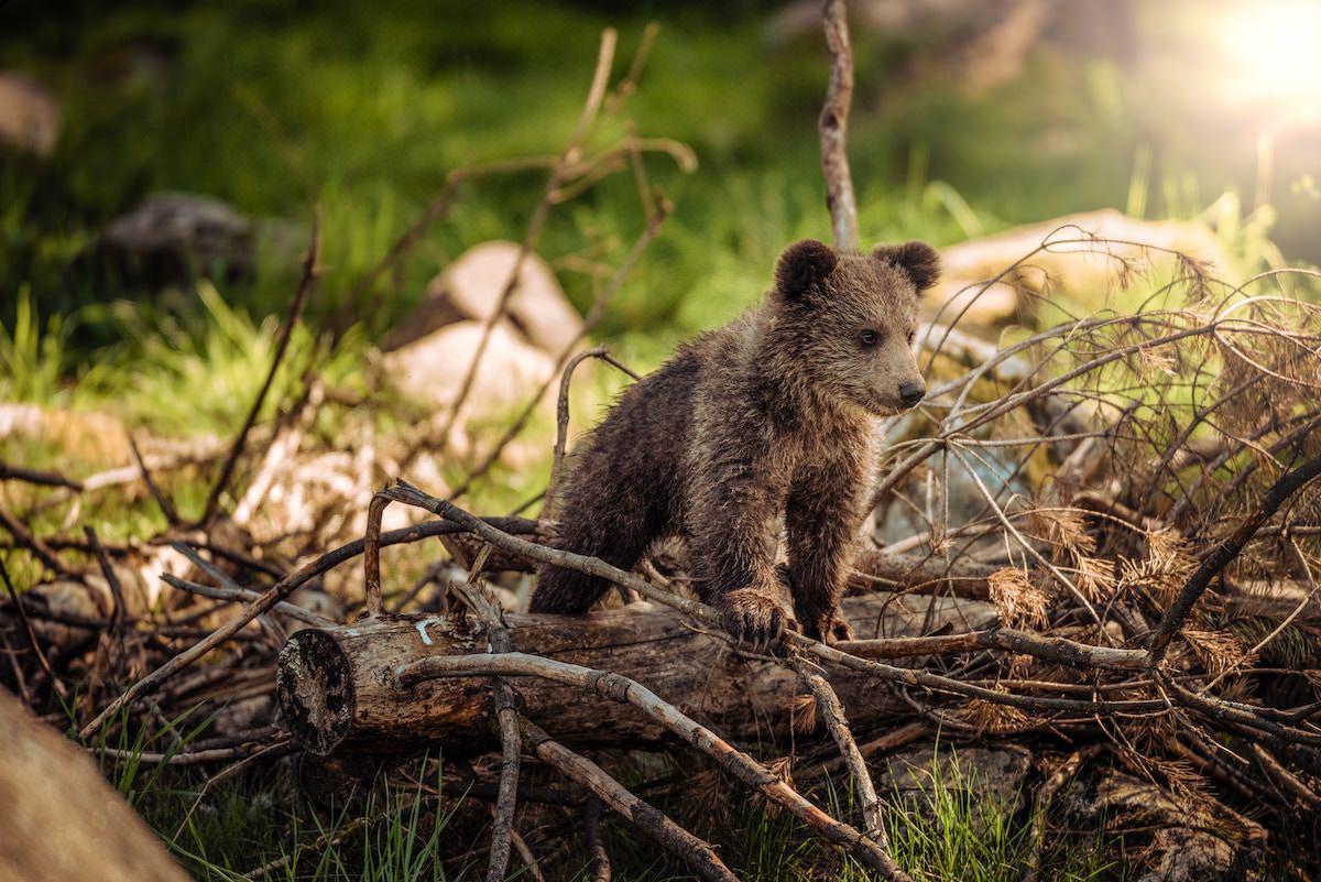 Je za porast napadov medvedov in volkov kriv velik komercialni odstrel in ograja na Kolpi