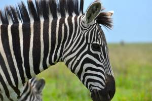 Zakaj je zebra crno bele barve in zakaj oznako za prehod za pesce imenujemo zebra