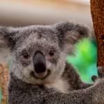 500.000.000 zivali je zgorelo v pozarih v Avstraliji AustralianBushfire