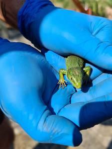Zelenec Lacerta viridis na obisku1