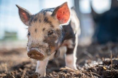 ales hojs svinje